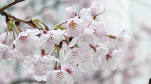 Zoom out shot from closeup of raindrops on cherry blossoms ビデオ