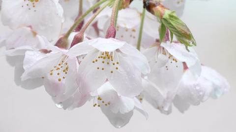 Zoom out shot of raindrops on cherry blossoms facing downwards ビデオ