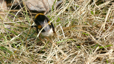 Bee on Grass in Spring Awake Footage