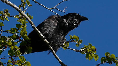 A destructive raven calling and then breaking a branch with his beak Footage