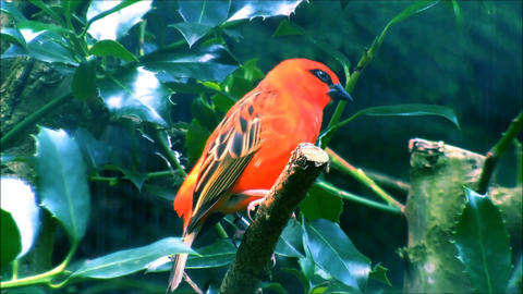 A male Red Fody sitting on a leafy branch Live Action