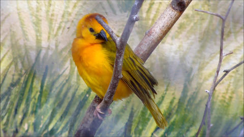 A male Taveta Weaver sitting on a branch and then takes off Live Action