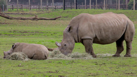 A Rhino mother and child relaxing Live Action