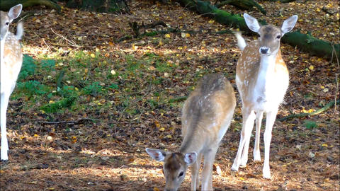Fallow Deer doe with her juvenile child Live Action