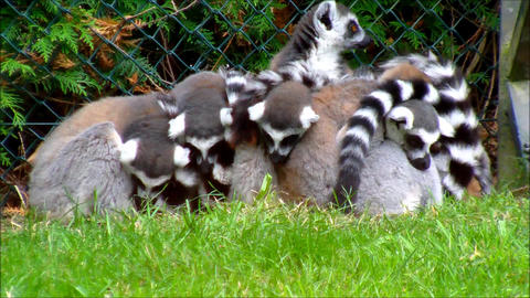 Group of ring tailed Lemurs huddled together at a zoo Footage