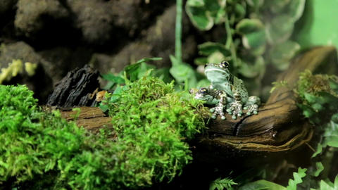 Milk frogs spending some quality time together Live Action