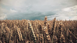 Wind waving wheat GIF