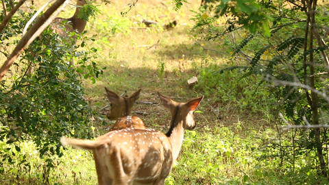 Spotted Deer walking through the jungle Footage