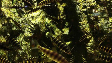 Tiger Fish in Tank Footage