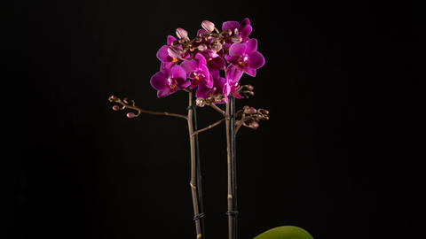 purple orchid flowers blooming on black background Footage