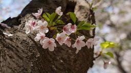 Spring Flower 1 フォト