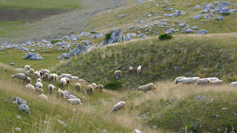 flock of sheep on the slopes of the hill 영상물
