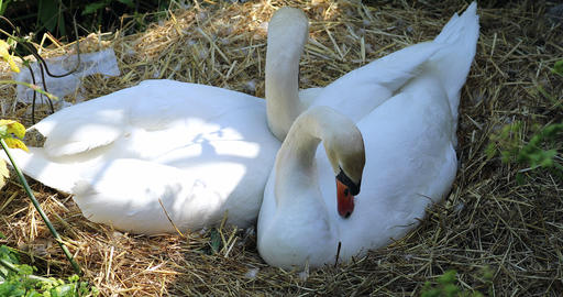 Couple Of Two Beautiful Mute Swans In Their Nest Footage