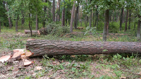 A large fallen tree lies in the autumn forest Footage