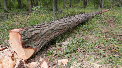 A large fallen cutted tree lies in the summer forest 영상물
