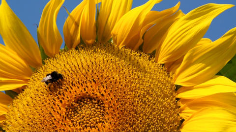 Sunflower And Bee Stock Video Footage