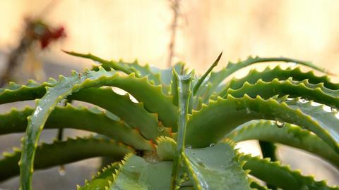 aloe plant Footage