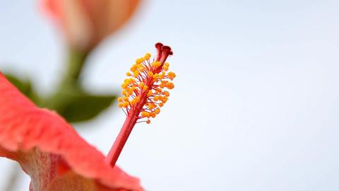 hibiscus Stock Video Footage
