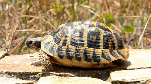 Tortoise stock footage