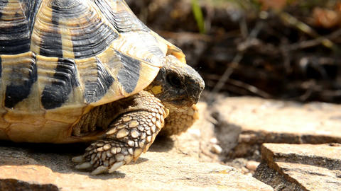 tortoise Stock Video Footage