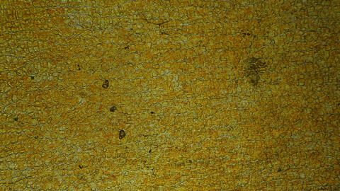 Tomato under the microscope, background. (Solanum... Stock Video Footage