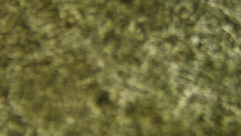 mushroom under the microscope, background. (Suillus) Stock Video Footage