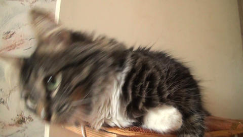 Affectionate fluffy cat Stock Video Footage