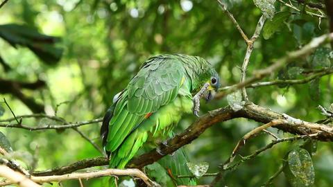 Amazonia Ochrocephala Footage
