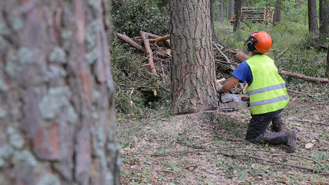 Lumberjack logger worker in protective gear cutting firewood timber tree in Live Action