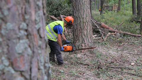 A pine tree falls after being cut. A lumberjack cuts pine wood Footage
