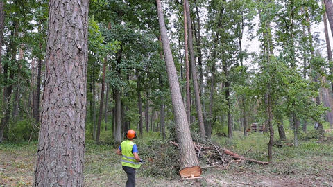 A man is cutting down a tree in the forest. The tree falls on the ground Footage
