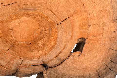 Stump of oak tree felled - section of the trunk with annual rings. Slice wood Photo