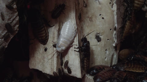 White giant cockroach among brown cockroaches Footage