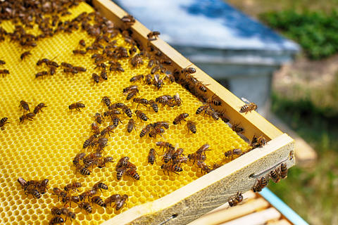 Bees on honeycomb in apiary Photo