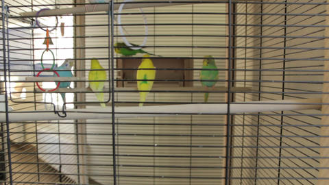 The Parrots The Cage Live Action