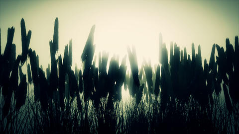 Wheat field at dawn Footage