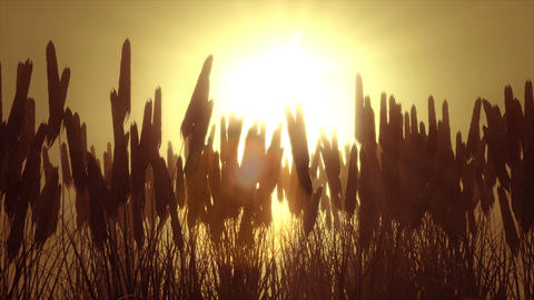 Wheat field at dawn Footage
