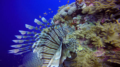 Lionfish, gracefully floating over a coral reef Footage