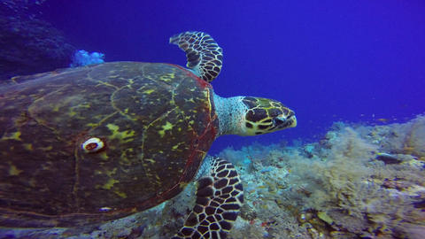 The Hawksbill turtle hovering over a coral reef Footage