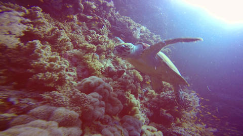 Hawksbill turtle hovering over a coral reef Footage