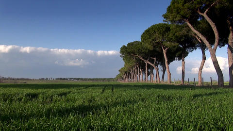 Roman Rural Pine Road Near Cereal Field Footage