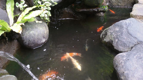 Close up of goldfish in a pond outdoors Footage