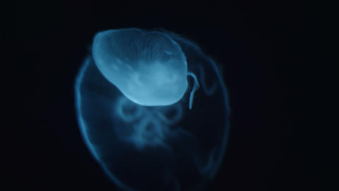 Cinematic portrait of a large jellyfish Footage