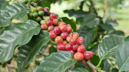 Robusta coffee beans at coffee-plantation in Chumphon Province, Thailand Footage