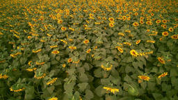 Aerial view sunflowers field Footage