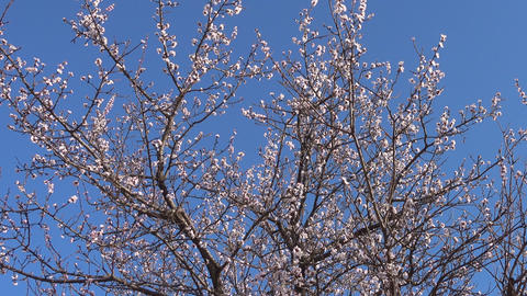 Panorama, spring, beautiful blooming apricot tree in garden Footage