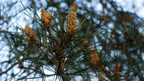 Yellow pine cones on the pine trees. Pine branches with cones, close up. Macro Footage