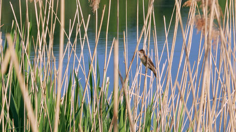 Acrocephalus scirpaceus bird sing on bulrush 4k 영상물
