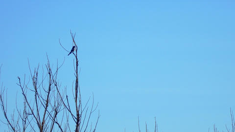 Magpie sits on a branch of a dry tree Footage