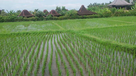Panorama of rice fields in Indonesia Live Action